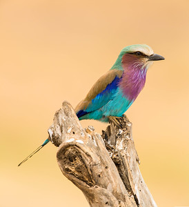 Lilac-breasted Roller, Tarangire National Park