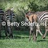 Cute Baby Zebra and Herd, Manyara