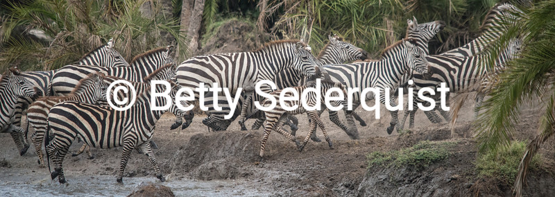 Stampeding Zebras at Waterhole
