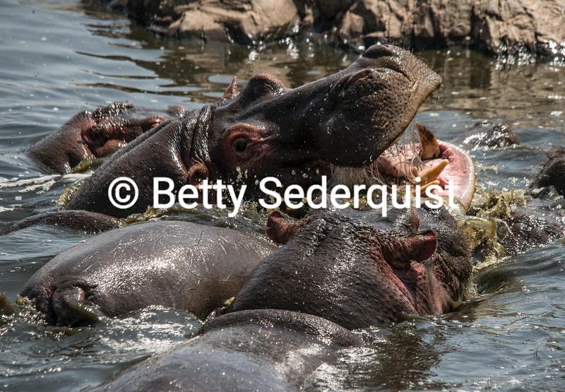Tussling Hippos