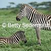 Mama Zebra and her Baby