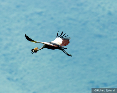 Grey-Crowned-Crane in flight in the Ngorongoro Crater in Tanzania