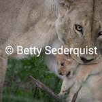 Mama Lioness and Month Old Cub