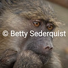Thinking Baboon