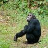Chimpanzee in Mahale