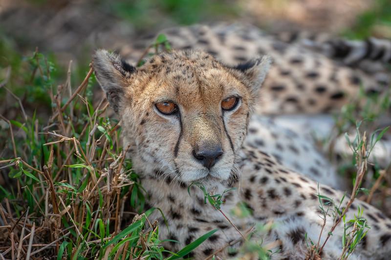 Cheetah _MG_7280