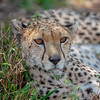Cheetah _MG_7280
