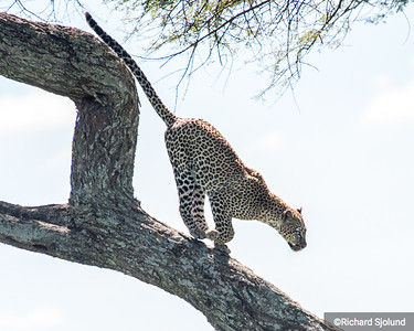 A Leopard running down a tree in Tanzania