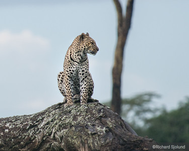 A watchful Leopard in Tanzania