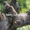 Cavorting Baby Baby Baboons