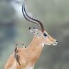 Impala and Oxpeckers. Tanzania by Kitty Kono in July 2014.