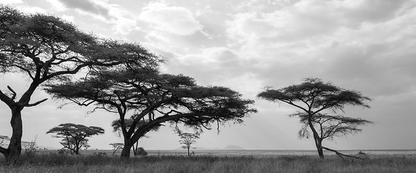 Acacia Trees on the Serengeti II