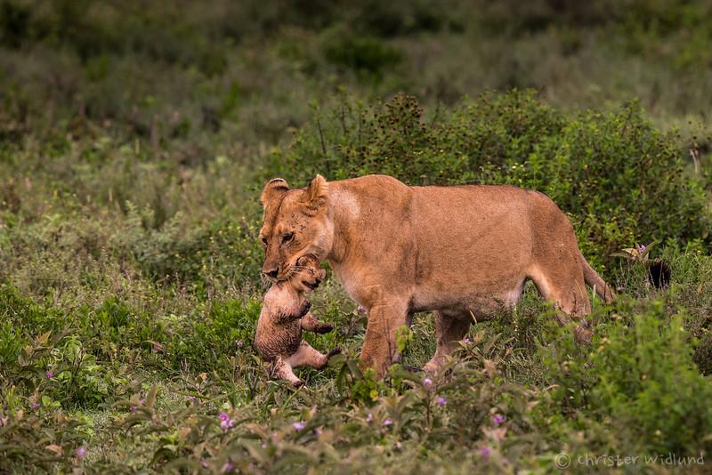 Lioness with cub, Ndutu, Tanzania, Christer Widlund, Febr. 2014.