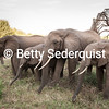 Closeup Elephant Family, Lake Manyara