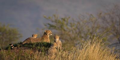 Cheetah family keeping watch, Serengeti National Park