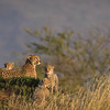 Cheetah family keeping watch, Serengeti National Park
