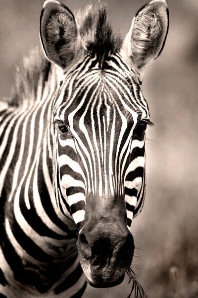 Zebra Porrtait_8479