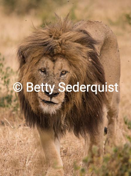 Scarred Ngorongoro Lion