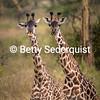 Giraffe Twosome