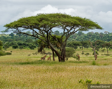 Acacia tree and Giraffes in Tanzania