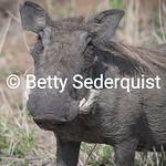 Warthog and Ticks, Tarangire