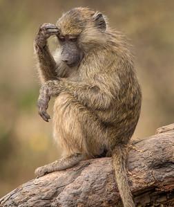 Pensive Baboon, Ngorongoro Crater