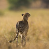 Cheetah sniffing for prey, Serengeti National Park