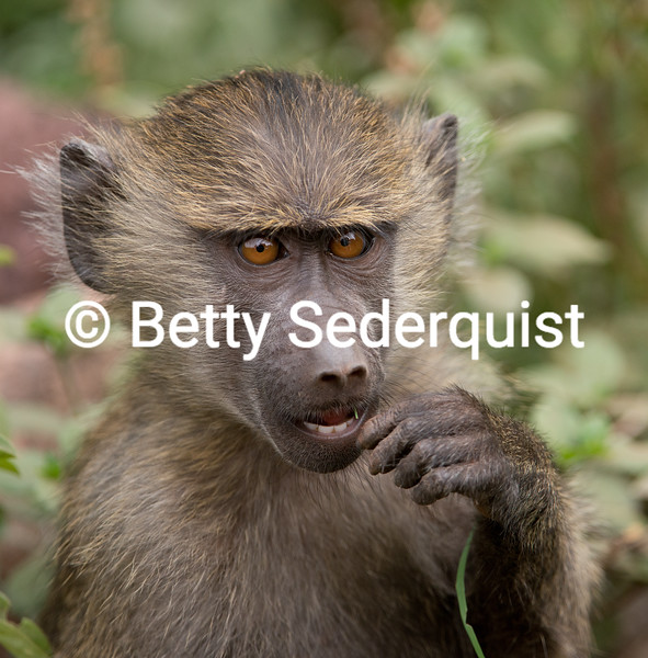 Baboon Baby Closeup