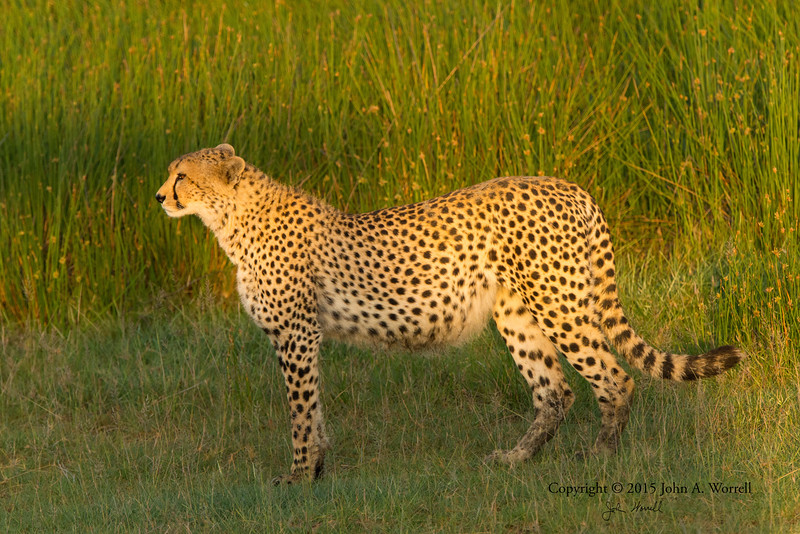 Cheetah in early morning light near Ndutu Safari Lodge. 14Feb2015 by John A. Worrell
