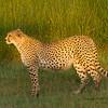 Cheetah in early morning light near Ndutu Safari Lodge. 14Feb2015 by John A. Worrell