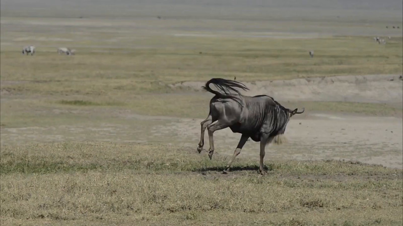 A gnu on a testosterone tear. Taken during the Tanzania 2015 Southward Migration safari by John Worrell in Feb 2015.