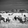 Wildebeests and zebras graze together in this infrared photo.