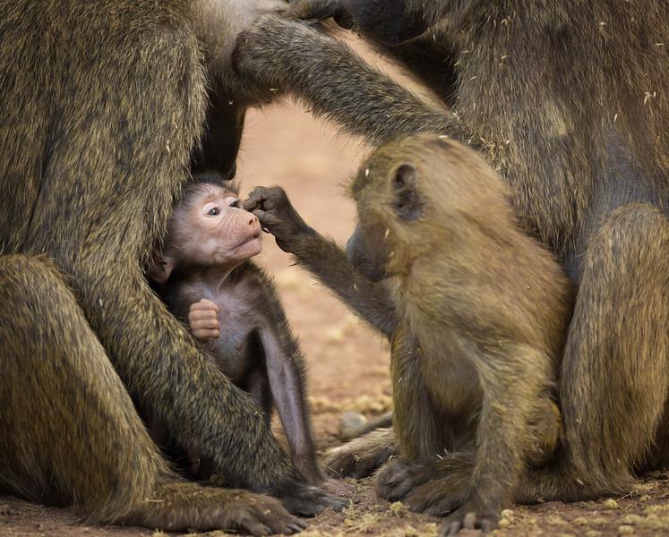 Grooming baboons, Lake Manyara National Park