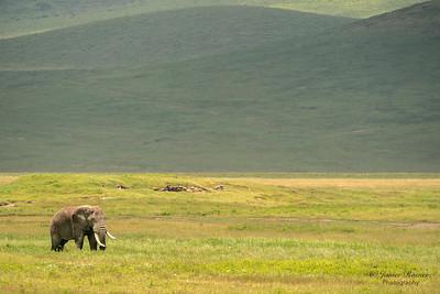 Elephant, Ngorongoro Crater