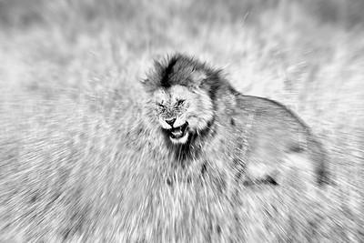 Lion 7533b
