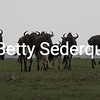 Silhouette of Wildebeests