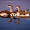Egyptian Geese and Sunset Light