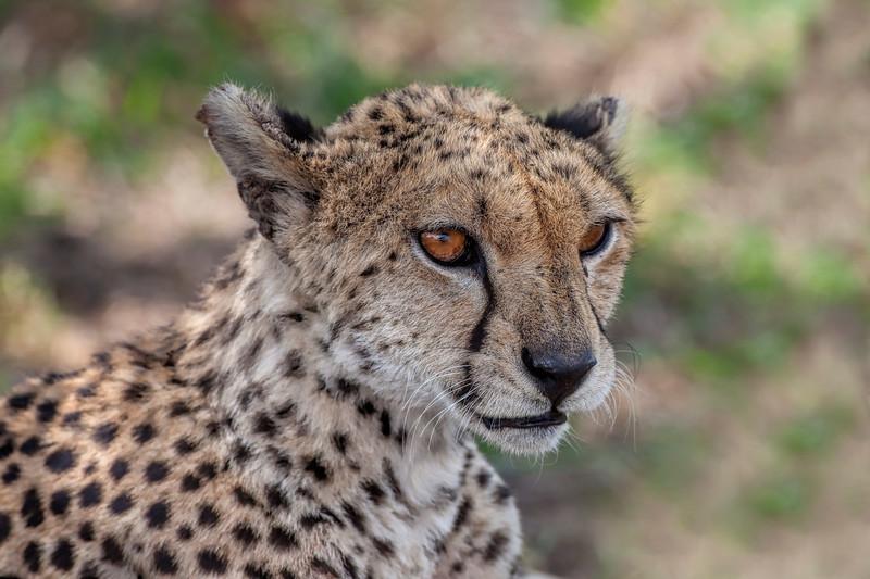 Cheetah _MG_7305