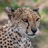 Cheetah _MG_7305
