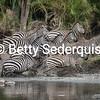 Stampeding Zebras