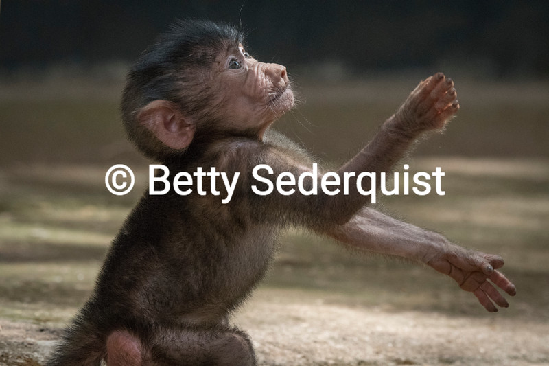 Cute Baby Baboon