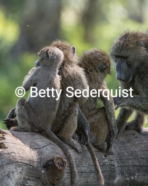 Baboon Babies