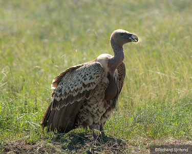 A Vulture in Tanzania