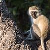 Juvenile Vervet Monkey