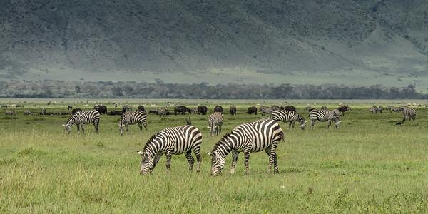 Zebras in the Crator