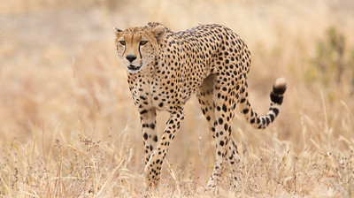 Cheetah in grass, Tarangire National Park