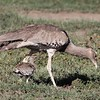 Kori bustard with chick