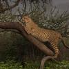 Cheetah sighing early morning in Ndutu, Tanzania, Kjerstin Ferm Widlund, Feb 2014