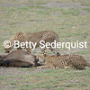 Cheetahs Eating Wildebeest