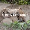Month old Lion Cubs, Serengeti